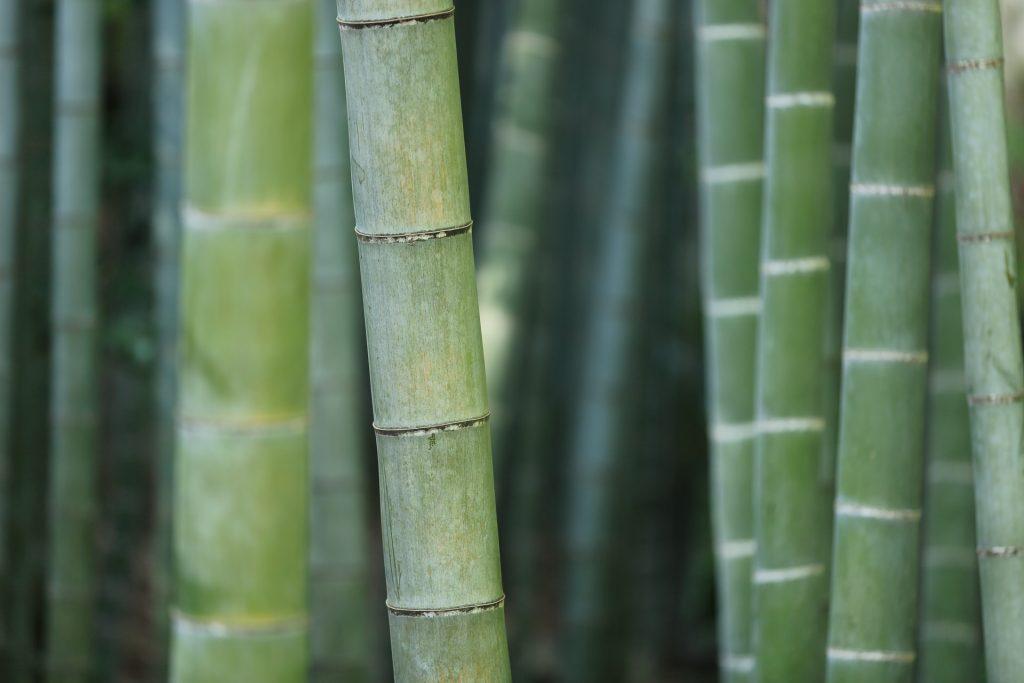 Green bamboos.